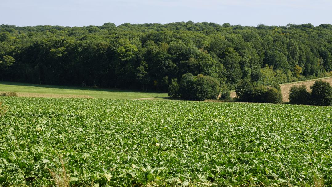 Zuckerrübenfeld